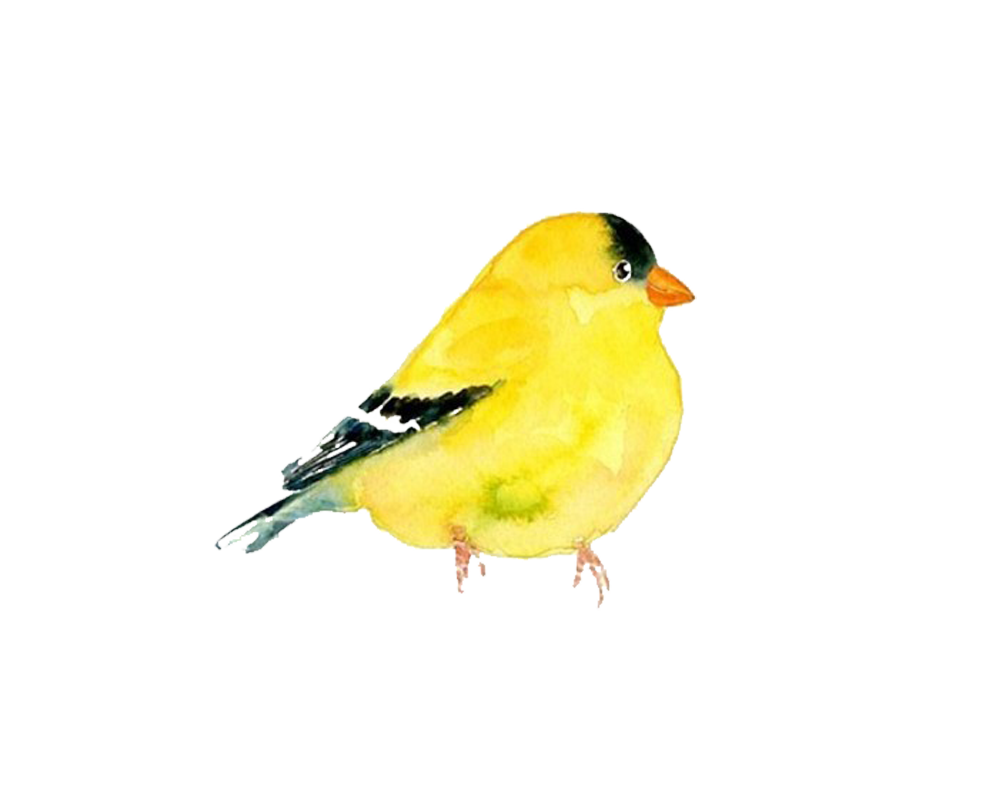 The domestic canary bird. Clipart birds goldfinch