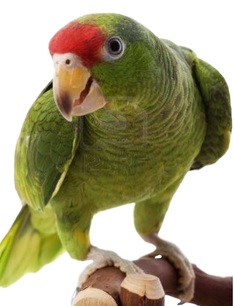 Parrot clipart perico. High resolution png free