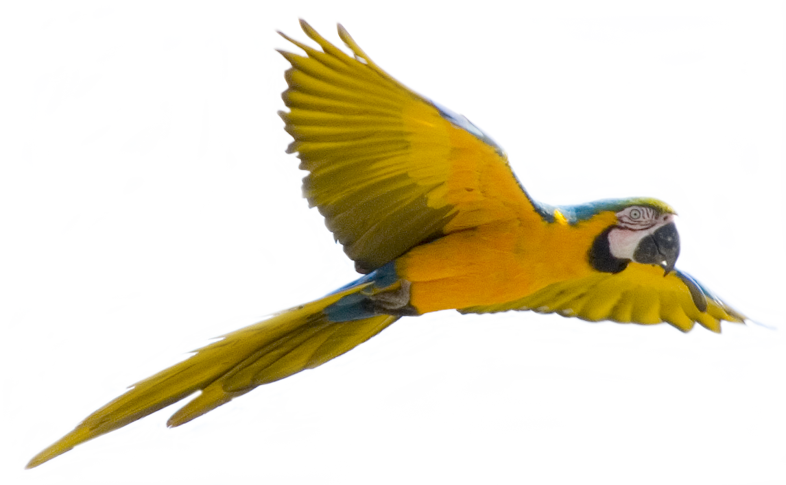 Flying Bird PNG Images Transparent Free Download