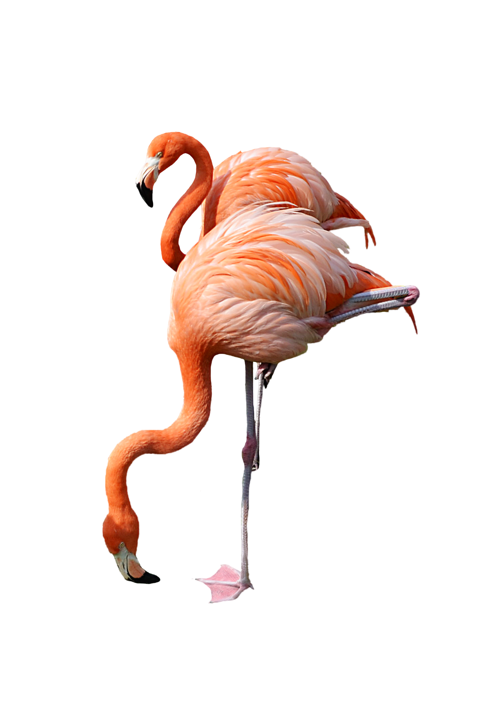 Foot clipart flamingo. Png images free download