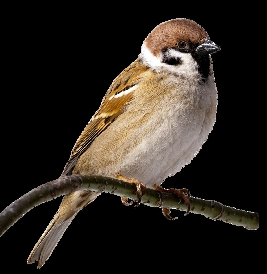 House sparrow bird clip. Clipart birds nightingale