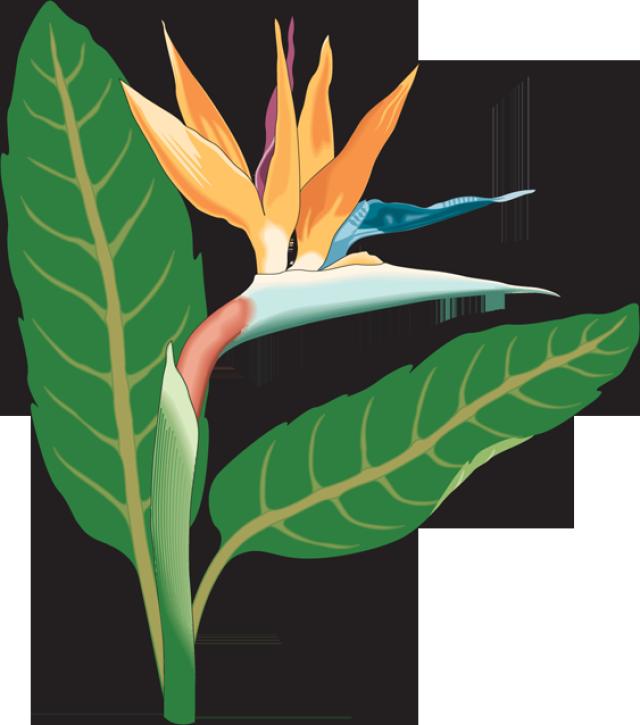 Clipart birds paradise.  collection of bird