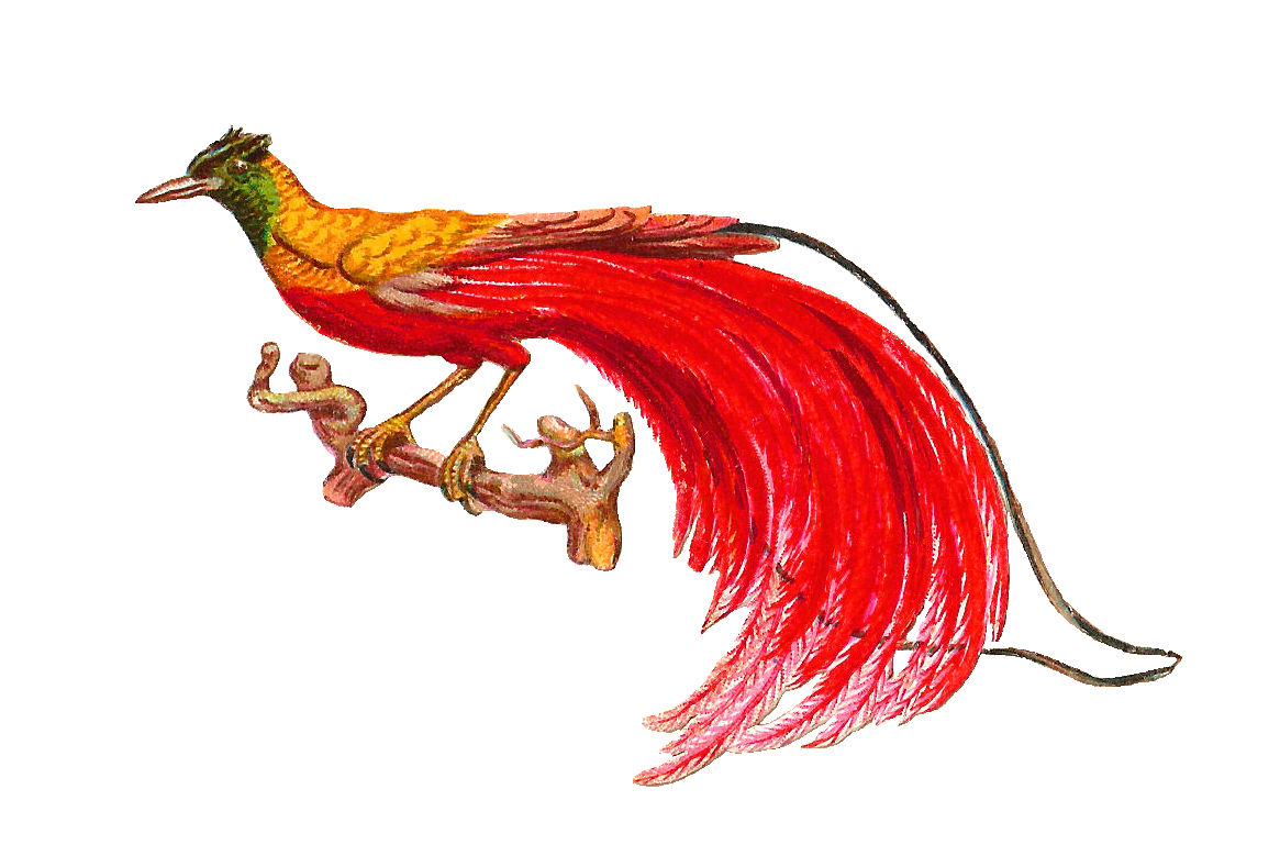 Clipart birds paradise. Bird of pencil and