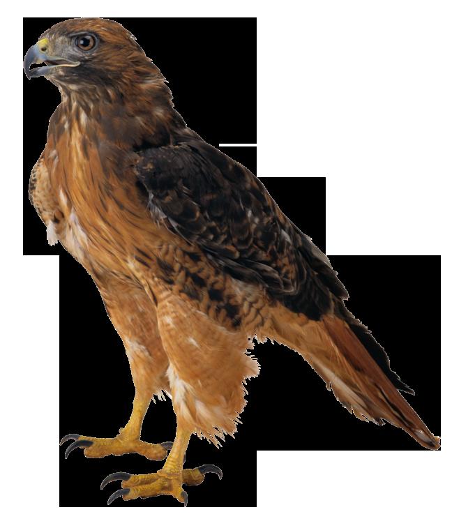 Hawk transparent background pencil. Clipart birds red kite