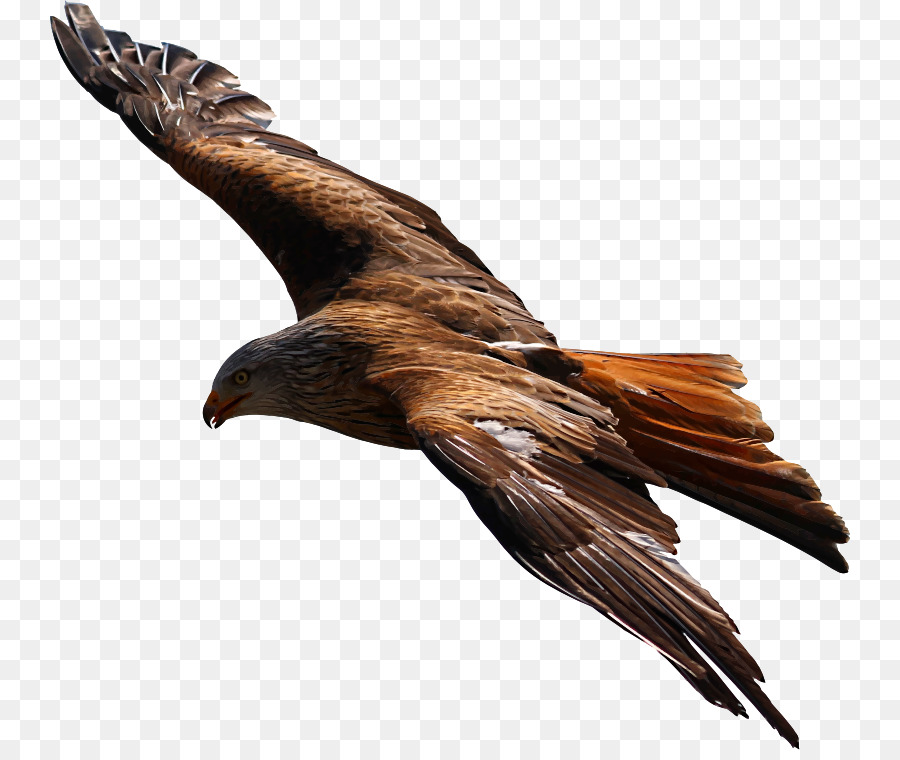 Wing eagle feather transparent. Clipart bird prey
