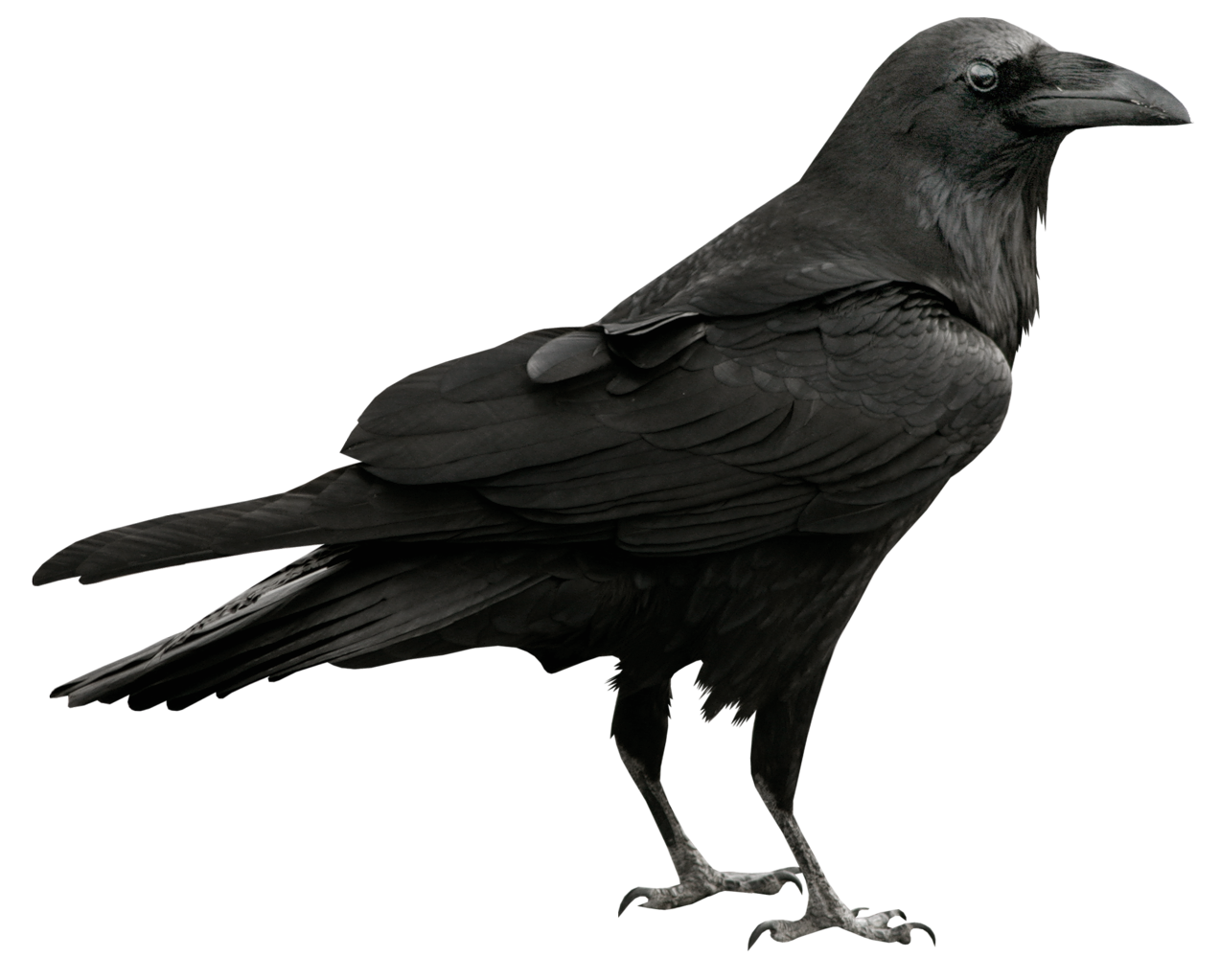 Raven transparent png picture. Fundraising clipart animated