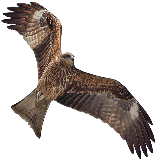 Clipart birds red kite.  collection of bird