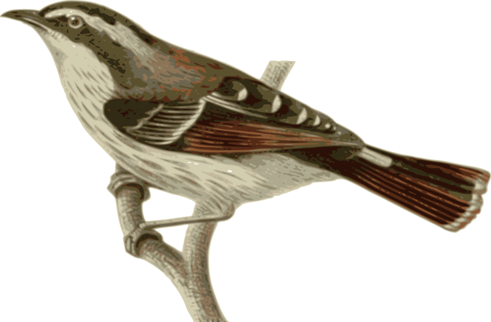 Bird free stock photo. Clipart birds nightingale