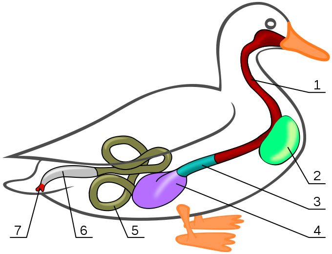 File gastrointestinal of the. Track clipart duck