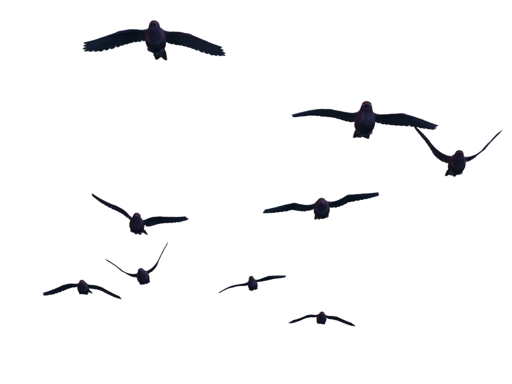 Flying bird png images. Clipart birds transparent background