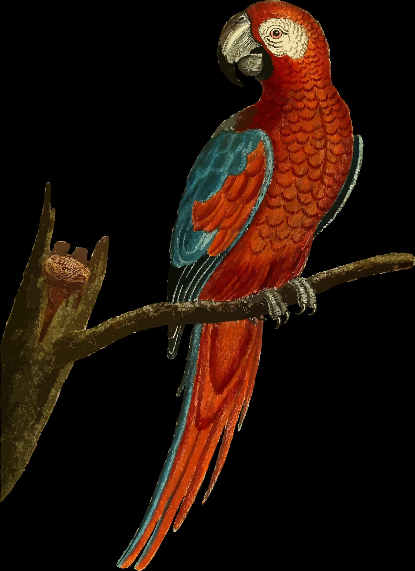 Deep red parrot illustration. Clipart bird vintage
