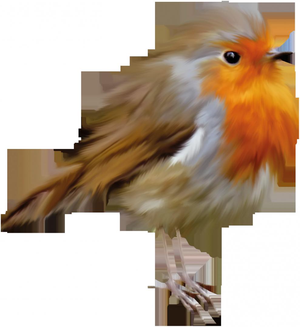 European robin bird american. Clipart birds brown