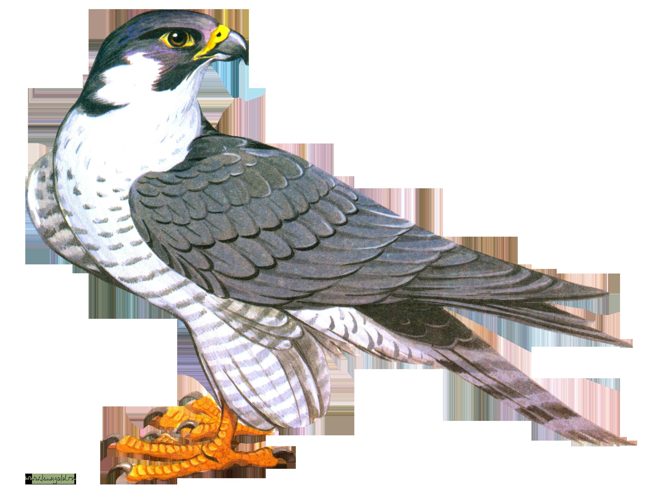 falcon clipart creative