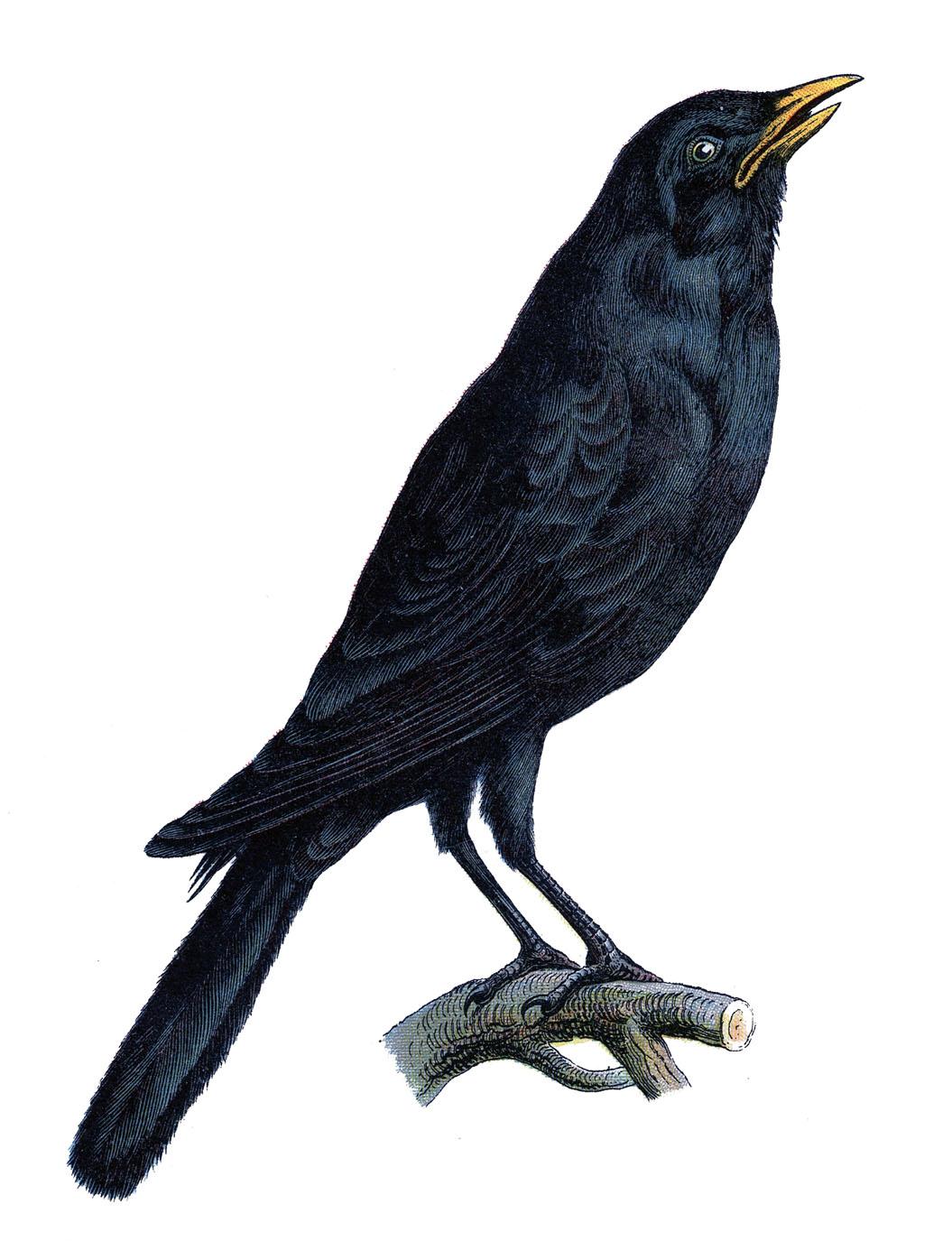 King Penguin Tattoo Razorbills Line Art PNG, Clipart, Animals, Artwork,  Beak, Bird, Black And White Free