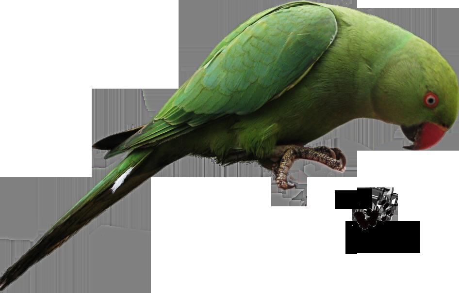 Parrots png transparent images. Parrot clipart rainforest parrot