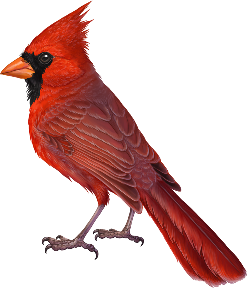 Commission cardinalidae by winternacht. Clipart birds meadowlark