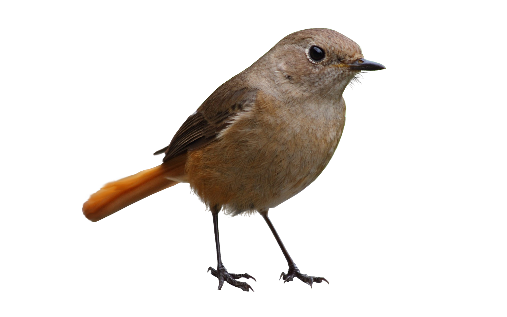 In png web icons. Clipart birds nightingale