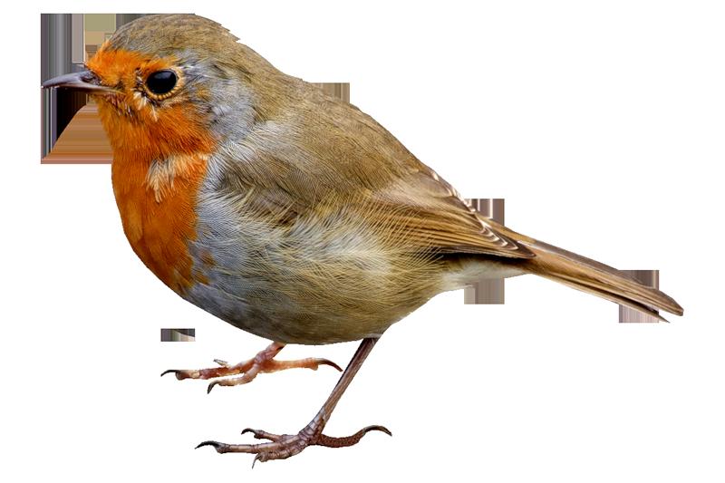 Clipart birds nightingale. Bird png