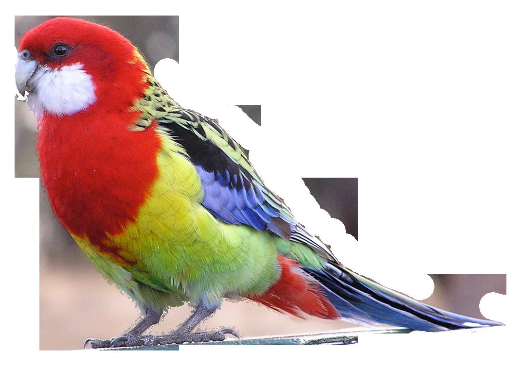 Parrot clipart rainforest parrot. Masked bird downloads eastern