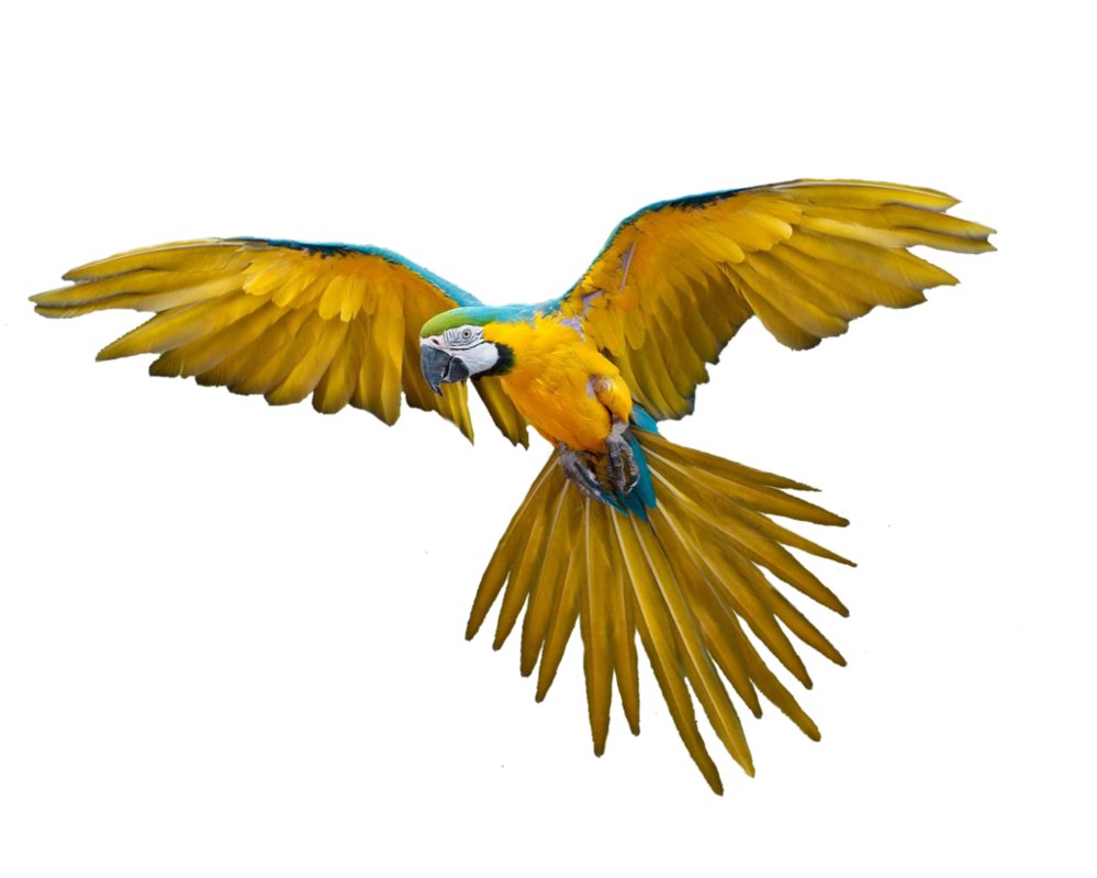 Parrot clipart blue yellow macaw. Png bird by moonglowlilly