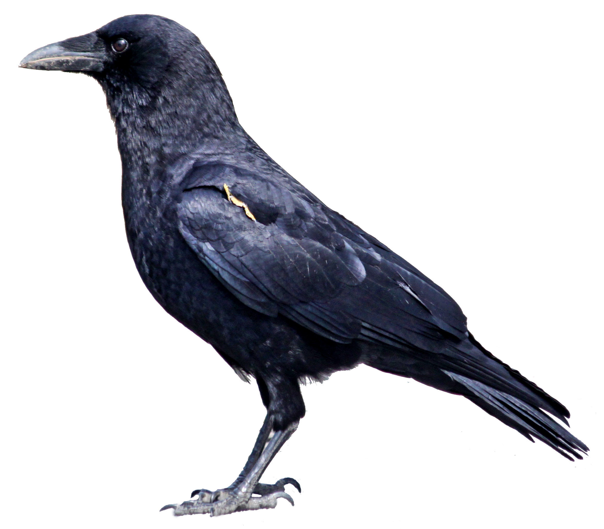 Pigeon clipart bible. Crow google image result