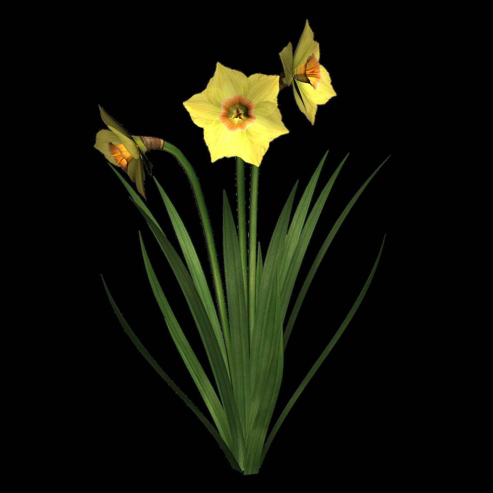 Flower at getdrawings com. Clipart borders daffodil