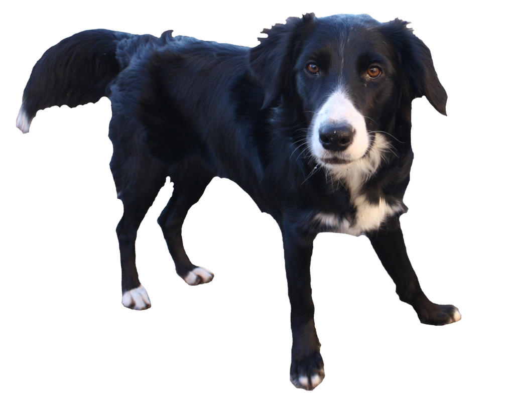 Dogs clipart clear background. Border collie transparent