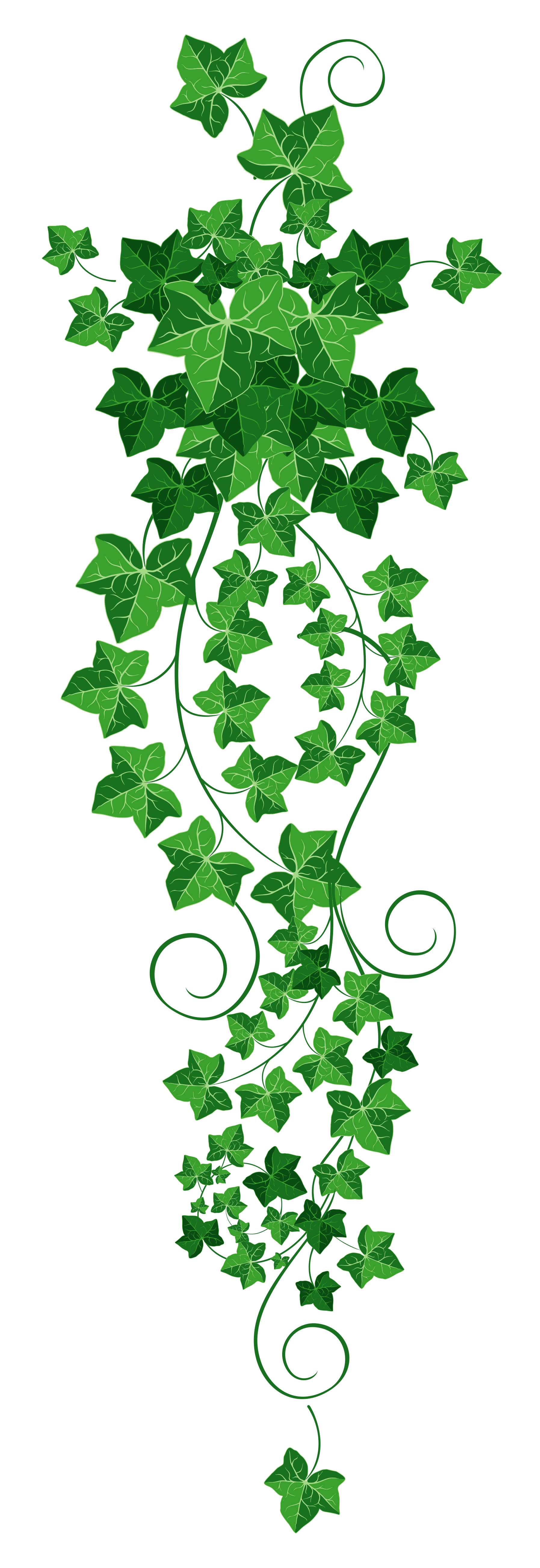 Tree clipart vine. Ivy png picture h