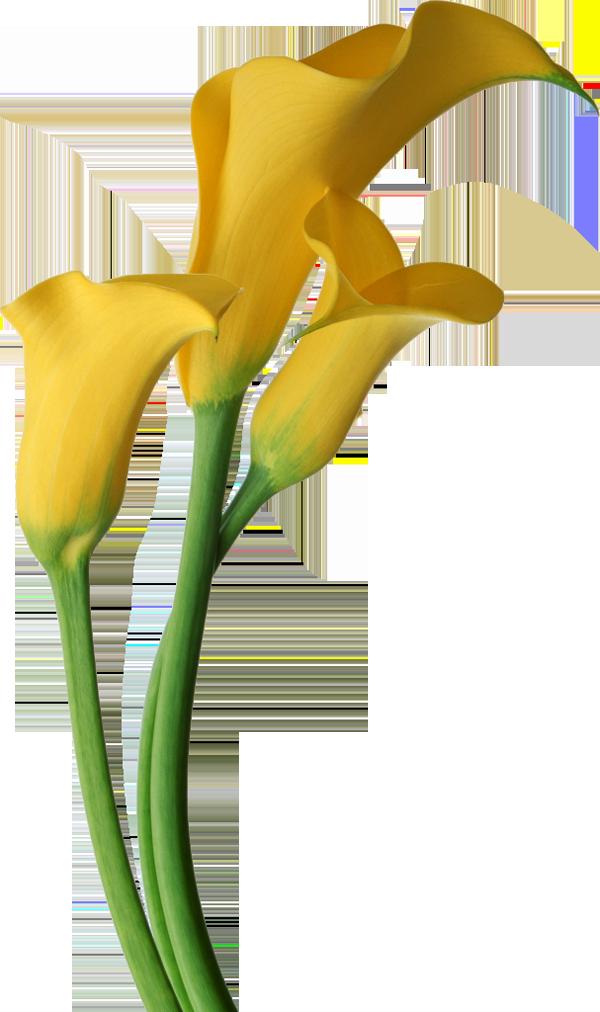 Lily flower clip art. Purple clipart calla lilies