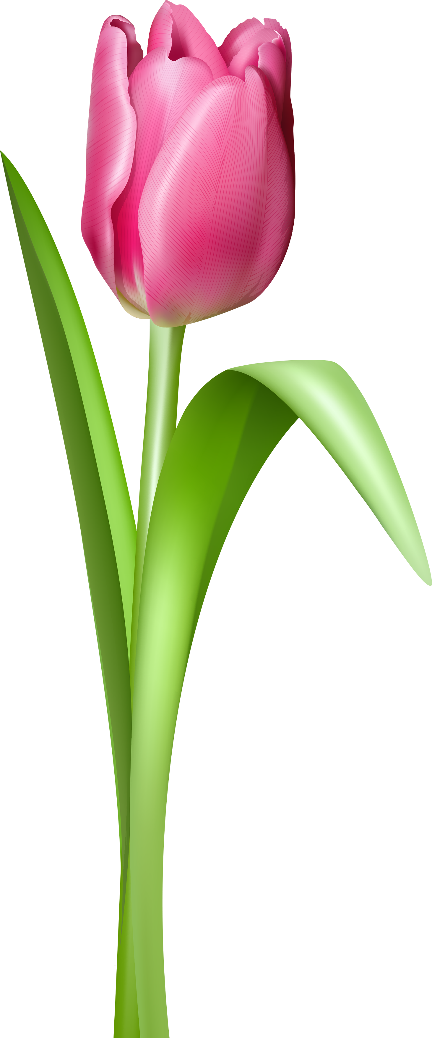 Poppy clipart 5 flower. Tulip png image photos