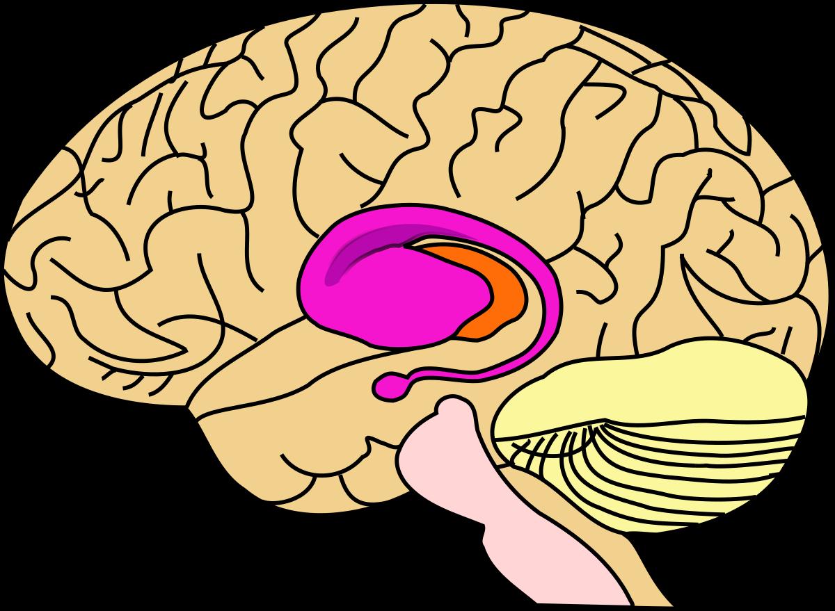 Putamen wikipedia . Psychology clipart midbrain