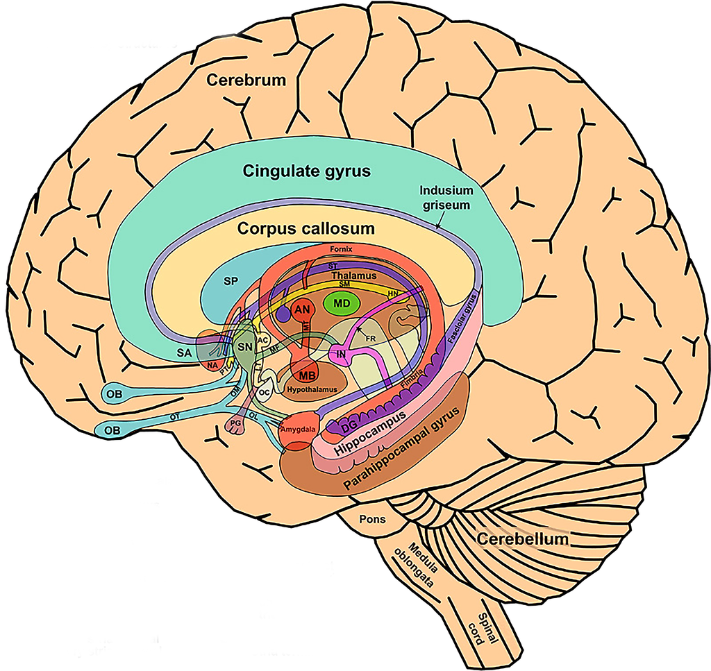 The limbic system and. Psychology clipart midbrain