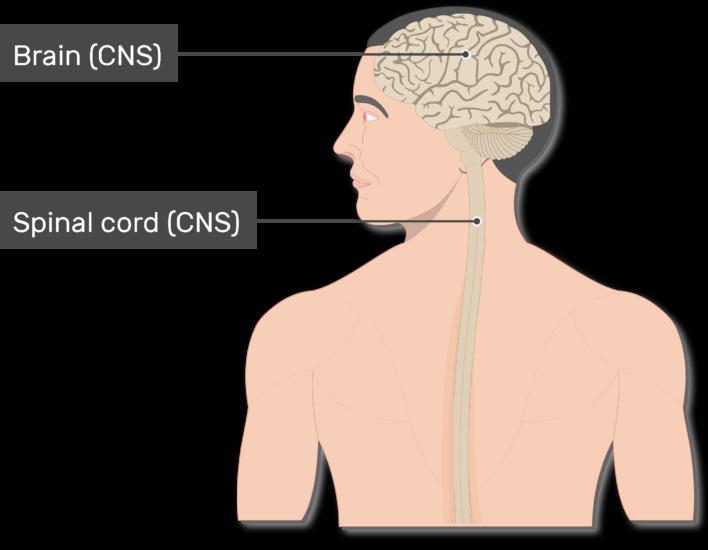 clipart brain central nervous system