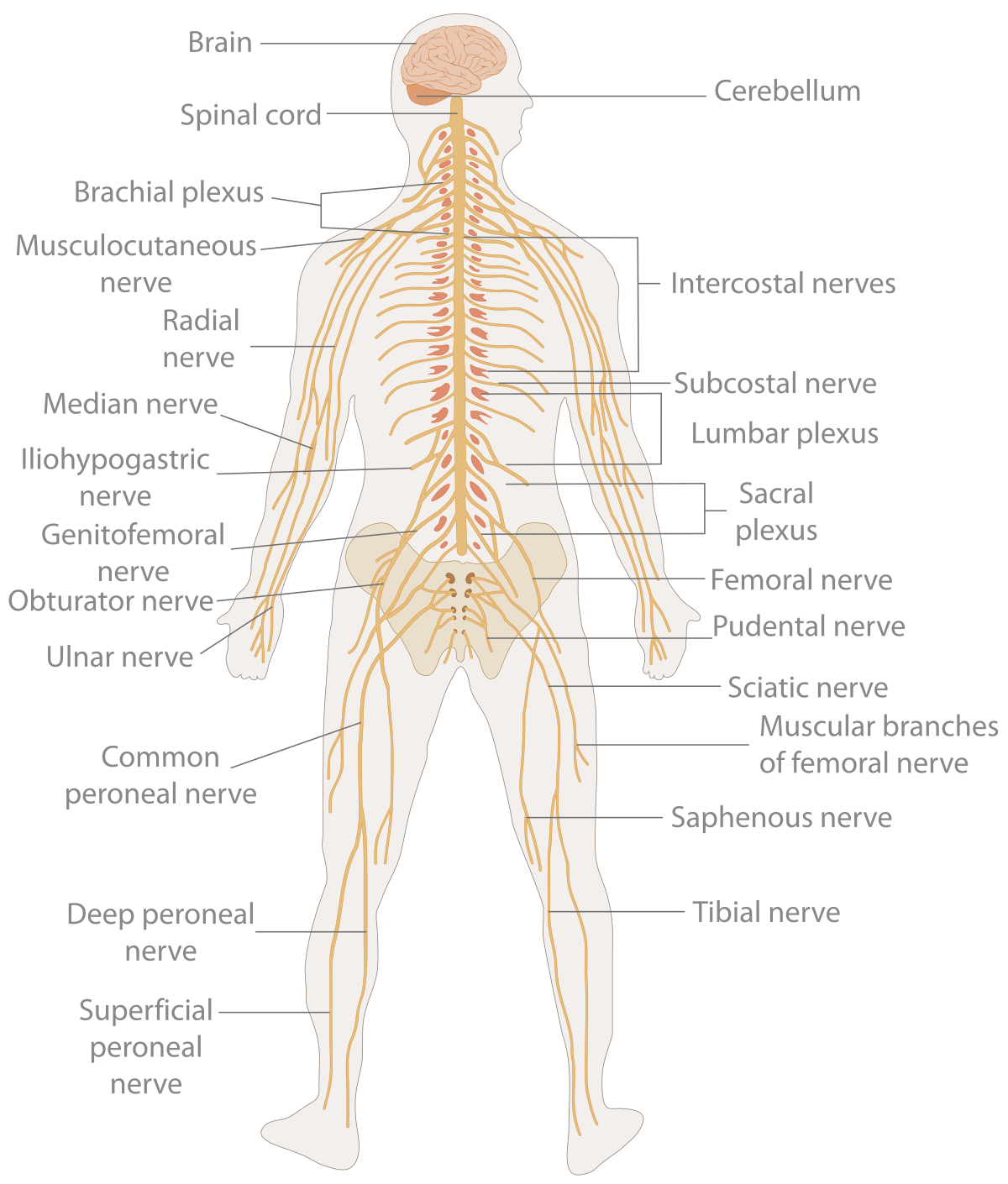 Human clipart anatomical body. Nervous system wikipedia