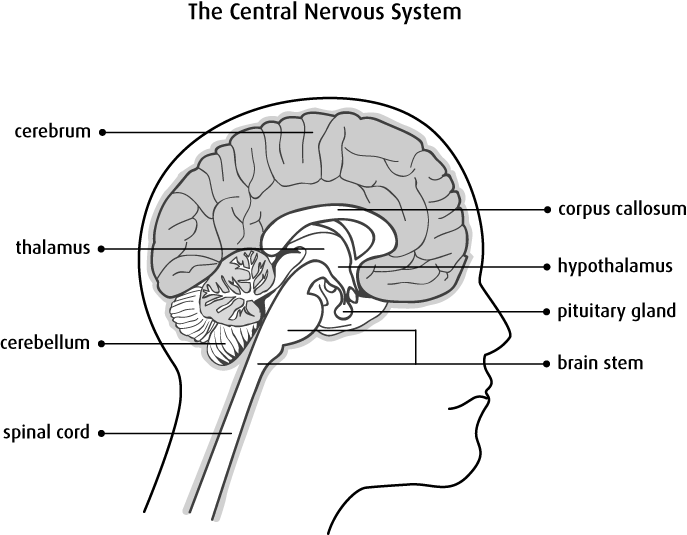Clipart brain central nervous system. Anatomy of and spine