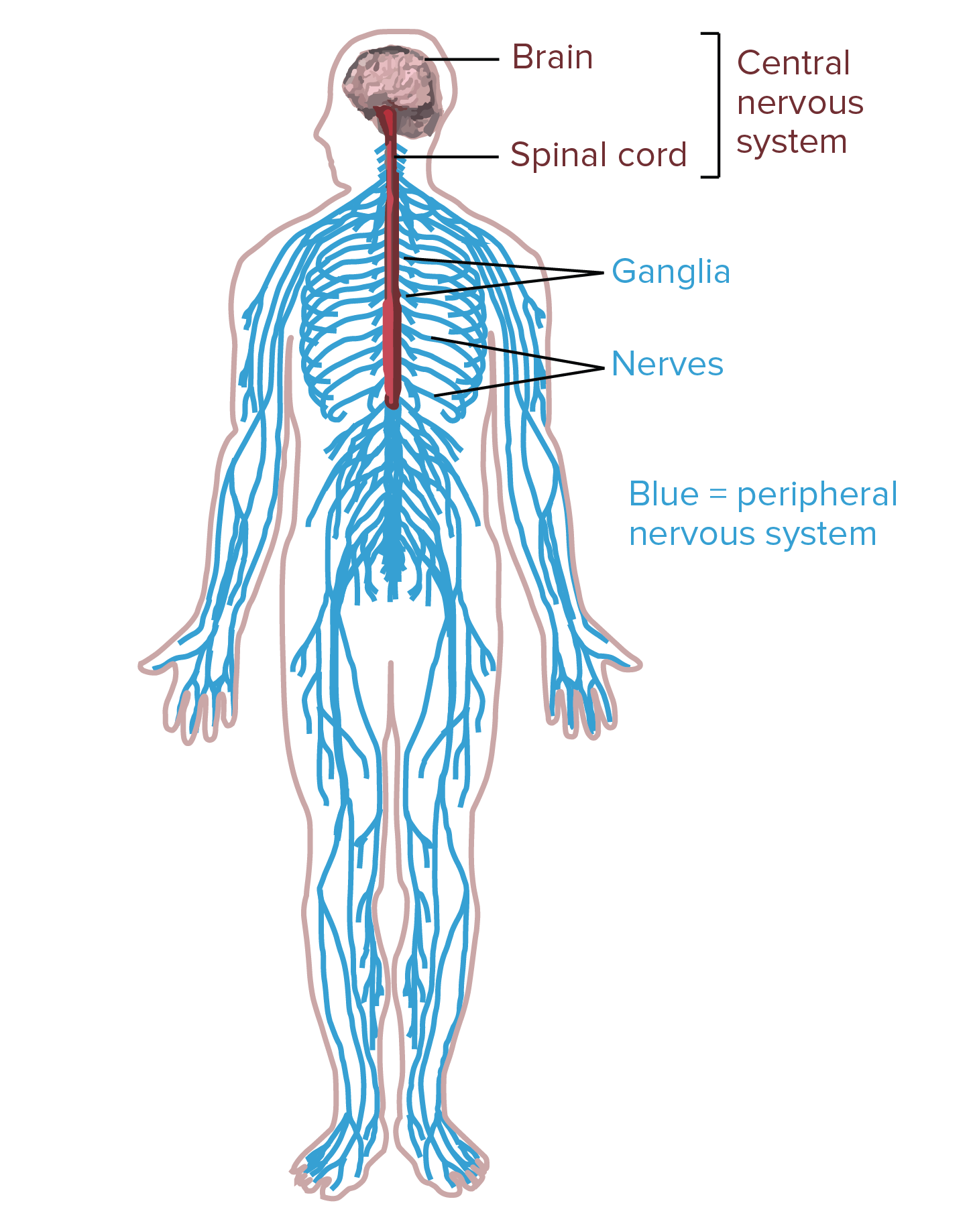 Clipart brain central nervous system. Drawing at getdrawings com