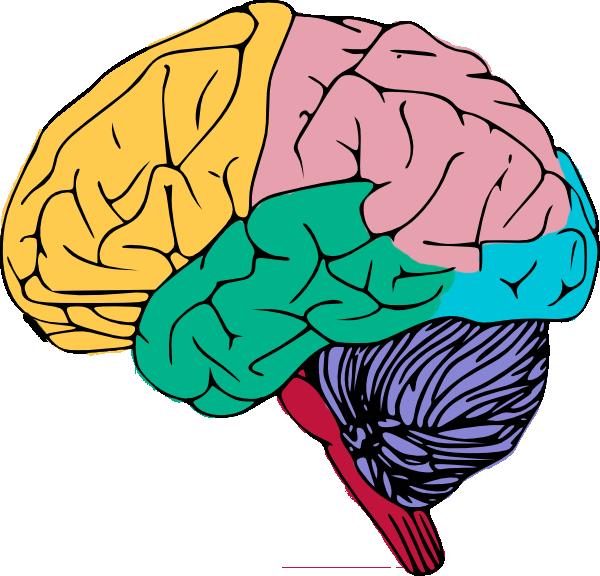 Clipart brain colorful. Free clip art the