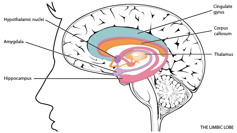 Psychology clipart hippocampus brain. Psychophysiology research measures examples
