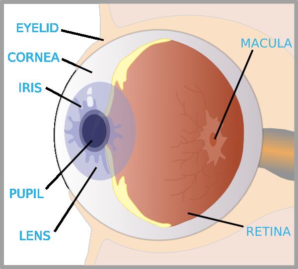 eyelash clipart cilia