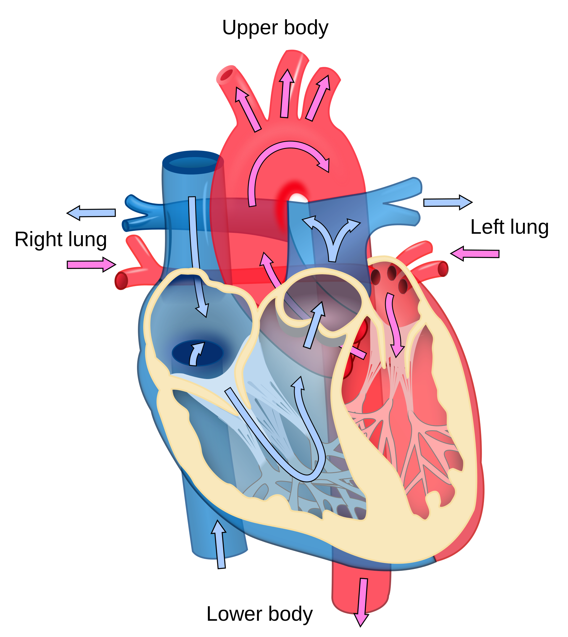 Heart diagram at getdrawings. Lungs clipart printable