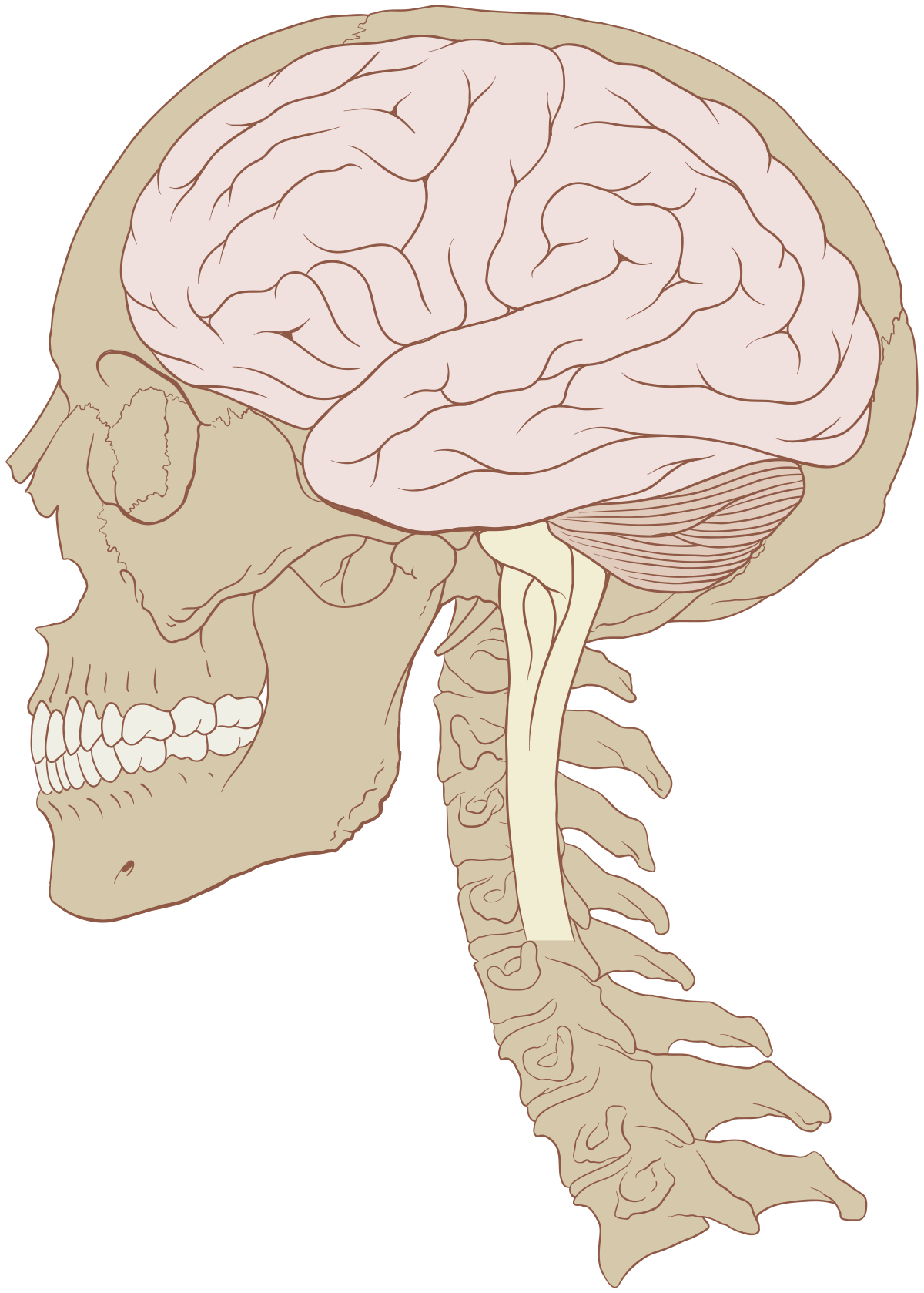 Brain wikipedia . Thoughts clipart human thinking