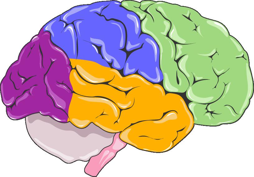 Clipart brain neurology. Servier medical art free