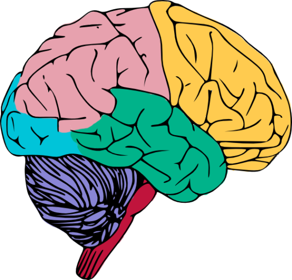 Psychology clipart colorful.  collection of brain