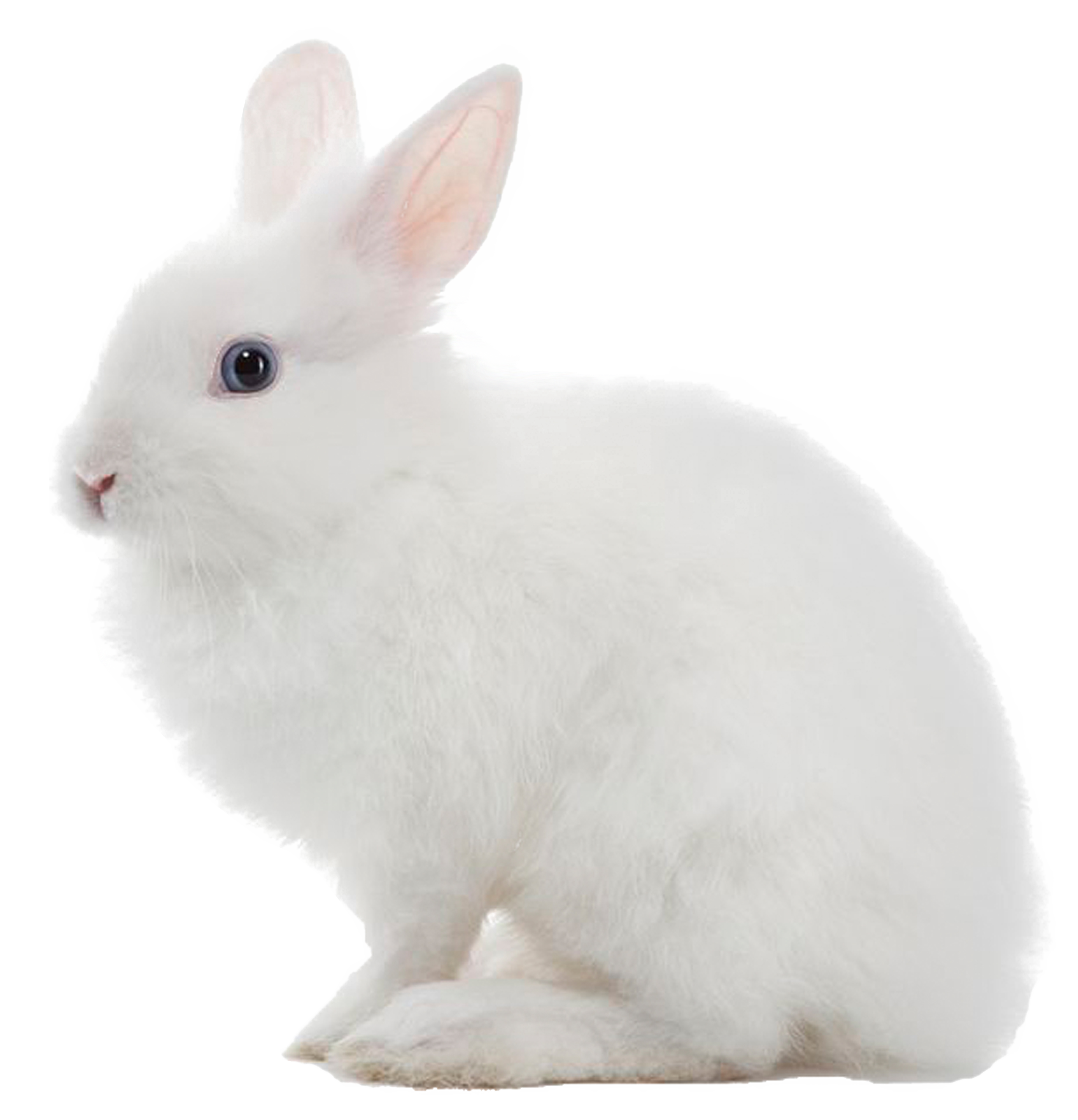 White rabbit png image. Clipart bunny arctic hare