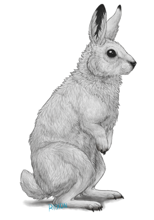 Clipart bunny arctic hare. By riixon on deviantart