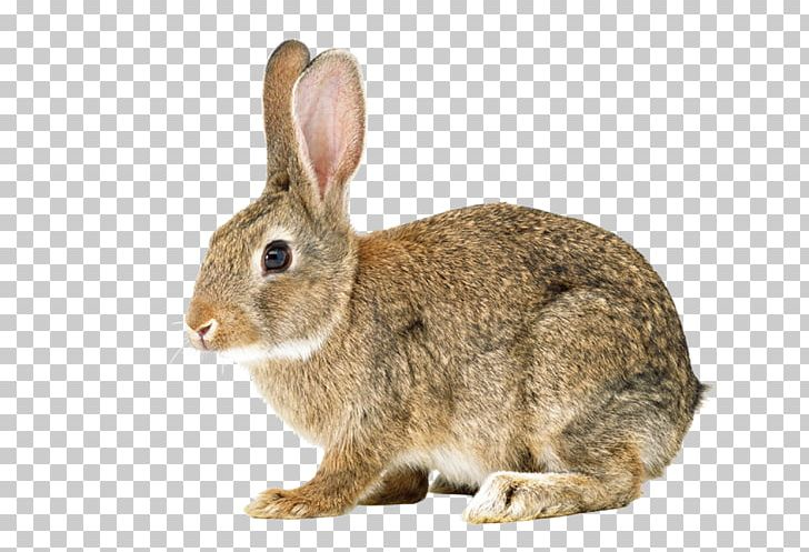 Hare easter bunnies rabbits. Clipart bunny cottontail rabbit
