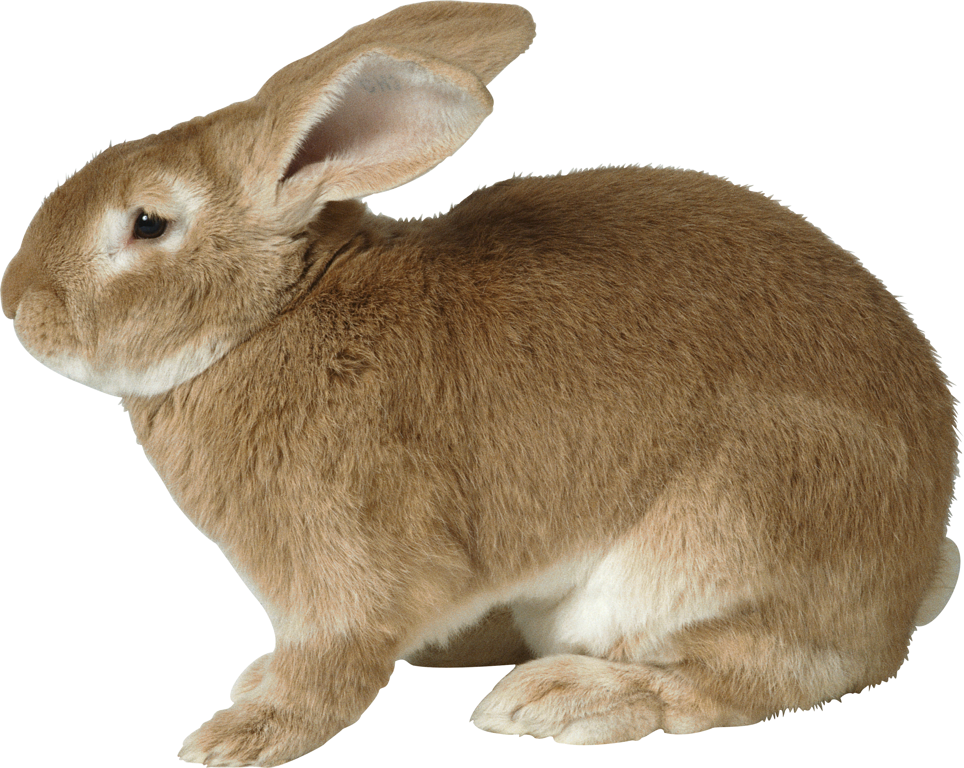 Clipart bunny cottontail rabbit. Png images free pictures