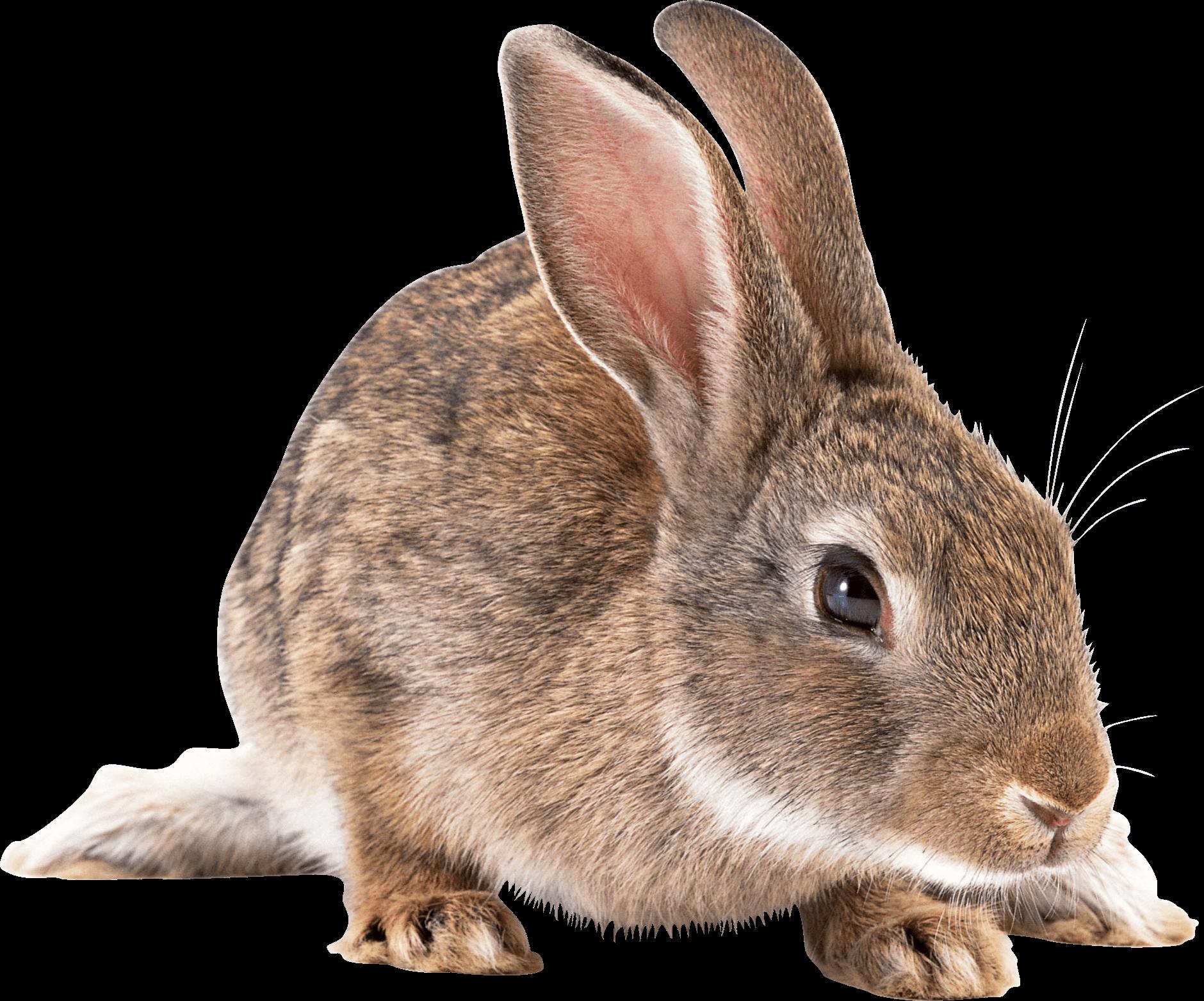 Rabbits transparent png images. Clipart bunny cottontail rabbit