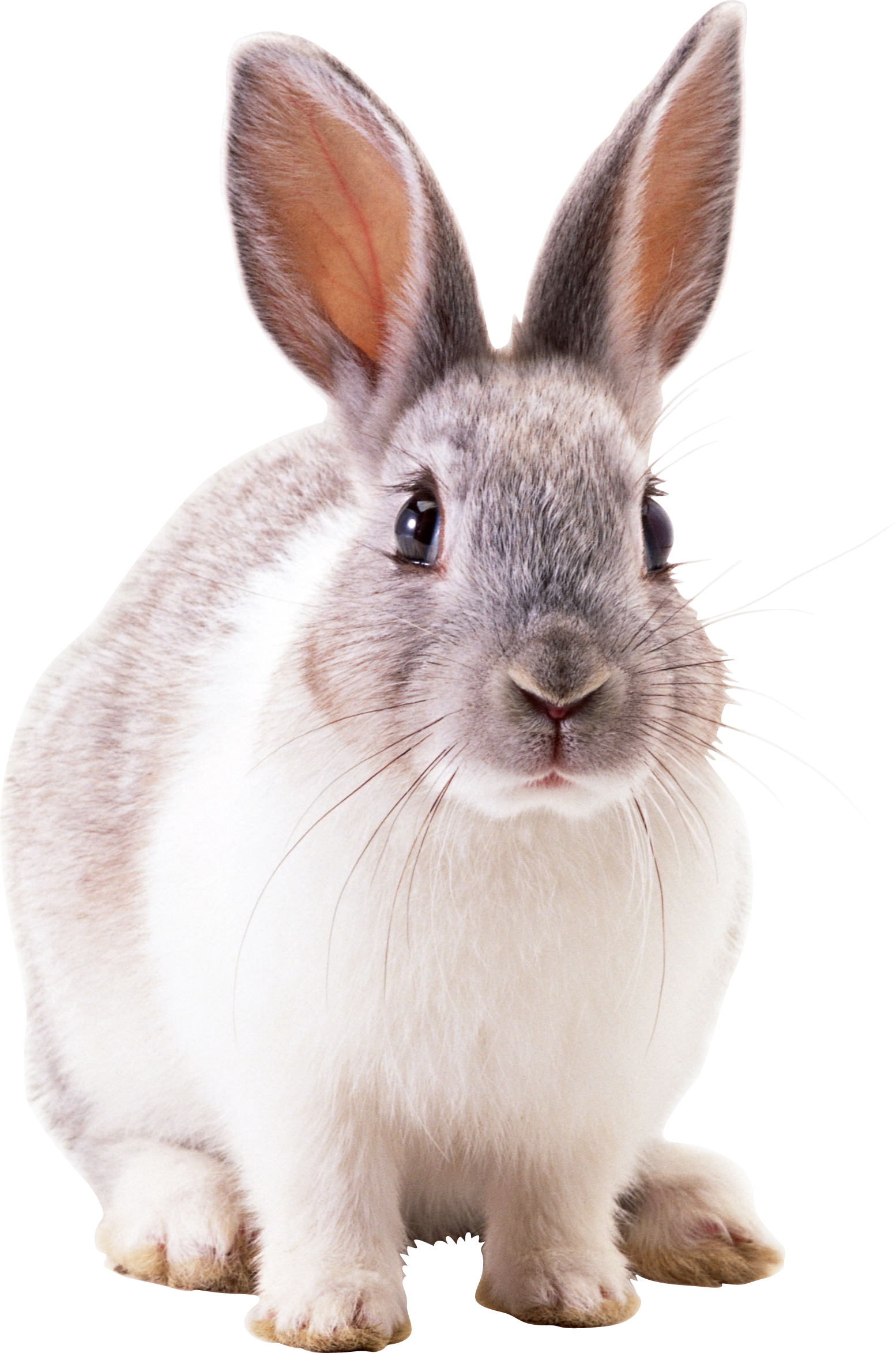 Clipart bunny cottontail rabbit. Fbce c f b