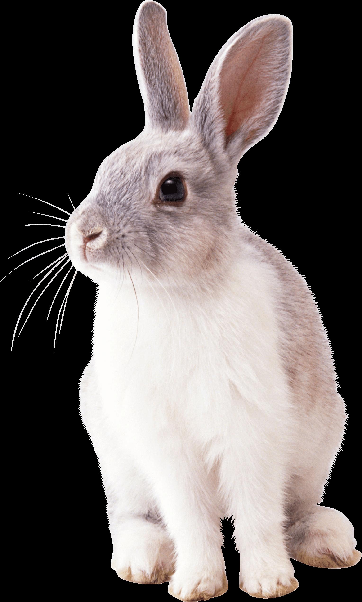 Easter clip art rabit. Clipart bunny cottontail rabbit